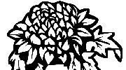 雍容华贵的菊花