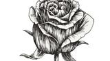 娇艳的玫瑰